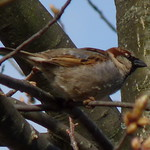 House Sparrow thumbnail