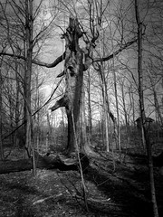Old Tree 2 (Jeffery Womack) Tags: 2018earylyspring mayburystatepark michigan trees blackandwhite dramaticmonochrome hikingtrails monochrome nature novi oldtree samsunggalaxy8plus smartphonephotography water
