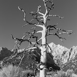 Dead Tree At Lone Pine 2 thumbnail