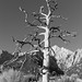 Dead Tree At Lone Pine 2