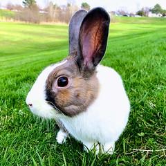 Tammo (ElenaK@Chicago) Tags: rabbit pet tammo
