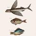 Flying Fish (Hirundo), Rudder Fish (Perca sectatrix) and Perch (Perca fluviatilis)