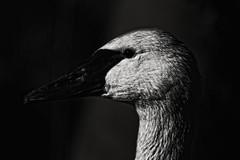 The Dark Swan (Andy von der Wurm) Tags: schwan swan vogel bird nature natur animal tier portrait schwarz weiss black white born kasteelpark tierpark dierenpark zoo andyvonderwurm andreasfucke hobbyphotograph nahaufnahme closeup fantasy fantasie fantastisch phantastisch