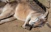 Currumbin Wildlife Sanctuary (robynejay) Tags: kangaroo sleep snooze australia currumbinwildlifesanctuary