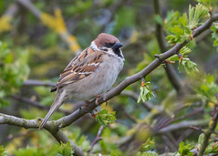 Tree Sparrow ( Passer montanus ) (Dale Ayres) Tags: tree sparrow passer montanus bird nature wildlife