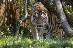 National Zoo 3 May 2018  (916) Tiger (smata2) Tags: tiger tigre flickrbigcats bigcats smithsoniannationalzoo zoo zoosofnorthamerica itsazoooutthere animals zoocritters