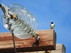 On the net (panoskaralis) Tags: swallow bird net web electricity sky bluesky wood wooden colomn glass outdoor zoom lesvos lesvosisland mytilene greece greek hellas hellenic nikon nikoncoolpixb700