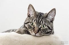 Willem (Marijke van Endhoven) Tags: cat cats bengal bengalcross pet pets animal animals feline cute funny kat katten huisdier dier dieren bengaal kruising nikon tabby