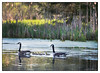The New Arrivals (GAPHIKER) Tags: hcs geese canadian pond light cattails punks reeds babies