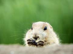 Prairie dog (STEHOUWER AND RECIO) Tags: prairie dog animal fauna nibbling portrait face expression cute lovely funny dof prairiedog herbivor prariehondje prairiehond planteneter social ecology rodent cynomys
