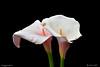 I COLORI DELLA NATURA. (Salvatore Lo Faro) Tags: natura nature fiore calla bianco giallo rosso verde bellezza salvatore lofaro nikon 7200