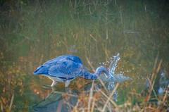 splash (lvphotos!) Tags: reflection nature autumn season greatblueheron bird wildlife creek water catch