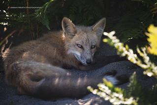 Scrawny Fox