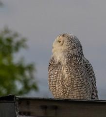 snowyowl-0637 (h.redpoll) Tags: birdwatcherssupplyandgift newburyport snow snowyowl trailer