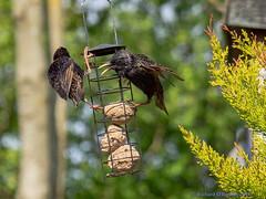 hang on! (Rourkeor) Tags: starlings feeding beak bokeh eating breakfast olympus omd em1mk2 12100mmpro mft nature garden