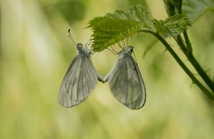 Mating Wood White butterflies (Anne Richardson) Tags: woodwhite butterfly insect invertebrate nature wildlife oakenwood macro macrophotography