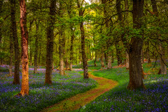 Path Finding (Augmented Reality Images (Getty Contributor)) Tags: woodland kinclavenbluebellwood spring perthshire scotland flowers nature nisifilters longexposure path landscape canon trees bluebells forest stanley unitedkingdom gb