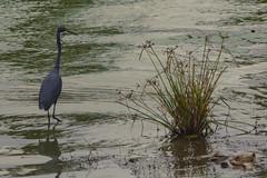 AIRONE  BLU    ----    BLUE HERON (Ezio Donati is ) Tags: uccelli birds animali animals natura nature acqua water fiori flowers paludi swamp africa costadavorio areadeslacsdeyamoussoukro