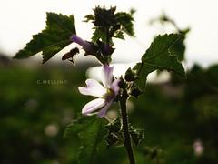 Bee landing... (clausterrible) Tags: sardinia alghero italy sonya5100 sony alpha5100 bee flower 28mm