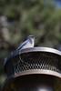 IMG_5951 (armadil) Tags: backyard lifeathome bird birds jay jays scrubjay