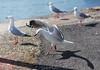 Incoming!! (StefanKleynhans) Tags: seagull bird landing wings feathers nikon d7100 50mm cockatooisland sydney nsw