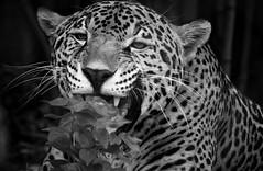Kitties big and small (Southern Darlin') Tags: jaguar panthera onca carnivora felidae cat feline rosettes predator mammal carnivore fur whiskers teeth plant blackandwhite bw monochrome wild wildlife nature animal photography photo canon