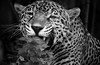 LeBron having a nibble. (Southern Darlin') Tags: jaguar panthera onca carnivora felidae cat feline rosettes predator mammal carnivore fur whiskers teeth plant blackandwhite bw monochrome wild wildlife nature animal photography photo canon