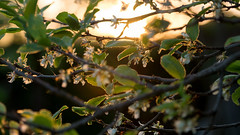Sunny bokeh in April (elkarrde) Tags: bokeh bokehlicious dof dofalicious depthoffield shallowdepthoffield shallowdof sunset sun nature leaves tree plumtree spring april 2018 spring2018 april2018 sunny bokehy gx7 dmcgx7 panasonicgx7 camera:model=dmcgx7 panasoniclumixdmcgx7 microfourthirds camera:mount=microfourthirds camera:format=microfourthirds panasonic camera:brand=panasonic digital digitalphotography mediumdigital olympus olympuszuikodigital zuikodigital 50200 50200mm lens:mount=fourthirds lens:format=fourthirds lens:brand=olympus lens:model=zuikodigital50200mm12835 lens:maxaperture=2835 lens:focallength=50200mm