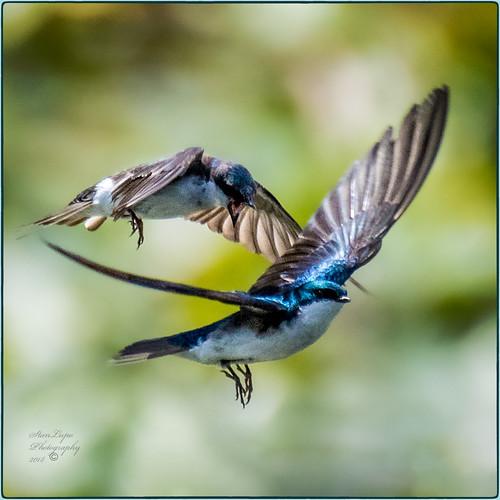 Tree Swallow Squabble