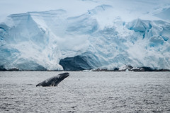 Ballenas (robertopastor) Tags: antarctica antarctique antarktika antartic antártida bahíaguillermina fuji opuertofoyn robertopastor xt2 xf14xtc xf100400 ballenas