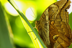Soaking in Sunlight (dianne_stankiewicz) Tags: butterfly leaves grass green light sunlight nature wildlife insect bamboobutterfly naturethroughthelens
