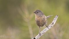 Wrentit (Bob Gunderson) Tags: birds california chamaeafasciata northbay northerncalifornia pineflatroad somonacounry wrentit