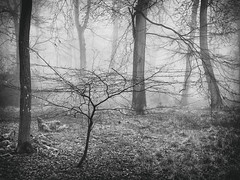 Linger (Damian_Ward) Tags: ©damianward damianward beech trees chilterns chilternhills thechilterns fog mist buckinghamshire wood forest woodland