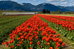 Tulips of the Valley Festival (SonjaPetersonPh♡tography) Tags: tulipsofthevalley tulips tulipfestival tulipfields tulipsofthevalleyfestival fraservalley bc britishcolumbia canada nikon nikond5300 landscape fields pacificnorthwest scenic scenery redtulips