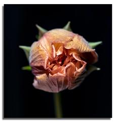 Hibiscus Flower Bud Opening (Bear Dale) Tags: hibiscusflowerbudopeningthankyouallforlookingandthankyouforthefavs theyareappreciatedulladullasouthcoastofnewsouthwalesaustralianikond850nikkorafsmicro105mmf28gifedvr bear dale nikon d850 105mm ulladulla south coast new wales australia