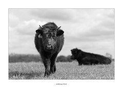 Little Miss Inquisitive (AnthonyCNeill) Tags: cow kuh vache black white schwarz weiss blanco negro outdoor farm animal
