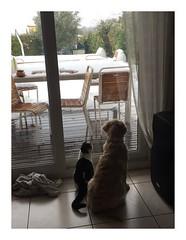 Album Chiens Clients Janvier-Avril 2018 (1) (Dalmatien-Golden-Braque) Tags: dalmatien goldenretriever braquedeweimar chien carcassonne elevage eleveur animaux dog breader