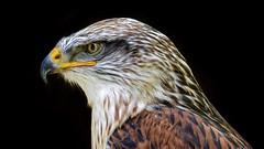 On Guard (picsessionphotoarts) Tags: nikonphotography nikond750 nikon nikonfotografie afsnikkor200500mmf56eedvr blackbackground bussard königsrauhfusbussard buteoregalis bird greifvogel birdsonflickr buzzard falconry falknerei schillingsfürst