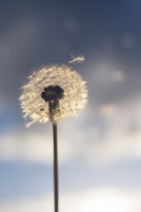 wishing... (CatMacBride) Tags: ginnyjoe wishes wishing dandelion seed