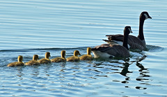 Follow the leader (Snixy_85) Tags: family geese goslings canadiangeese brantacanadensis gravellybay