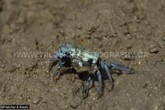 41229 Fiddler Crab (female, Uca forcipata_) on mudflat at low tide, Kuala Selangor Nature Park, Selangor, Malaysia. (K Fletcher & D Baylis) Tags: wildlife animal fauna marinefauna estuarinefauna crab fiddlercrab ucaforcipata blue mangrove mudflat tide kualaselangornaturepark selangor malaysia asia april2018