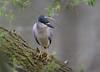 Black-crowned Night Heron (piano62) Tags: birds blackcrownednightheron urbanwildlife urbannature chicago chicagoriver nikond750 tamron150600mmg2