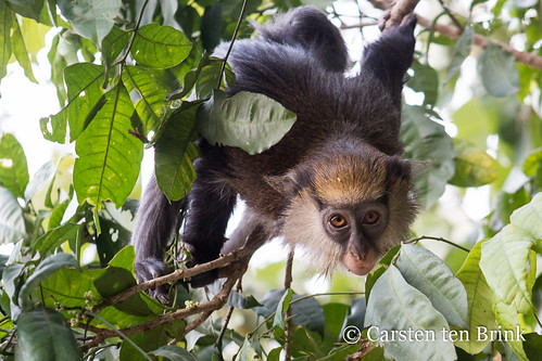 Gbepleu sacred forest mona