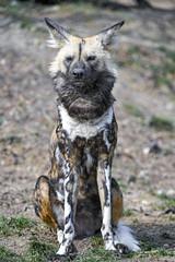 Wild dog bravely sitting (Tambako the Jaguar) Tags: wilddog african dog canine canid sitting posing portrait cute grass stones basel zoo zolli switzerland nikon d5