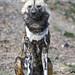 Wild dog bravely sitting