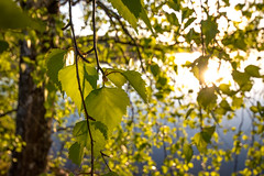 Aspen tree on a sunny lake (A.Elkela) Tags: sunset aspentree leaves sunrays green water bright sunny summer kesä koivu auringonlasku järvi finland