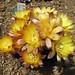 仙人掌-黒斜子 Reicheocactus pseudoreicheanus (Echinopsis famatimensis)   [日本大阪鮮花競放館 Osaka Sakuya Konohana Kan, Japan]