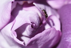 DSC_9887 (PeaTJay) Tags: nikond750 sigma reading lowerearley berkshire macro micro closeups gardens outdoors nature flora fauna plants flowers rose roses rosebuds insect ant
