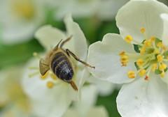 honey bee on Malus toringo ssp sargentii (conall..) Tags: honey bee malus toringo ssp sargentii honeybee malustoringo raynox dcr250 macro crabapple species rowallane gardens