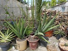 Sansevieria pinguicula (GREGORIUZ) Tags: